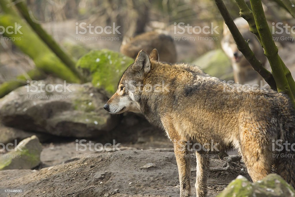 Forest Wolf stock photo