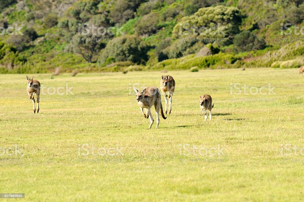 Forester Kangaroos stock photo