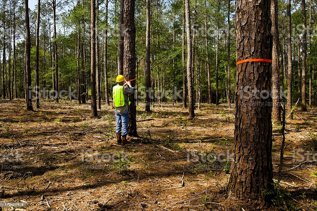 Forester, surveyor or builder marking trees with orange ribbon stock photo