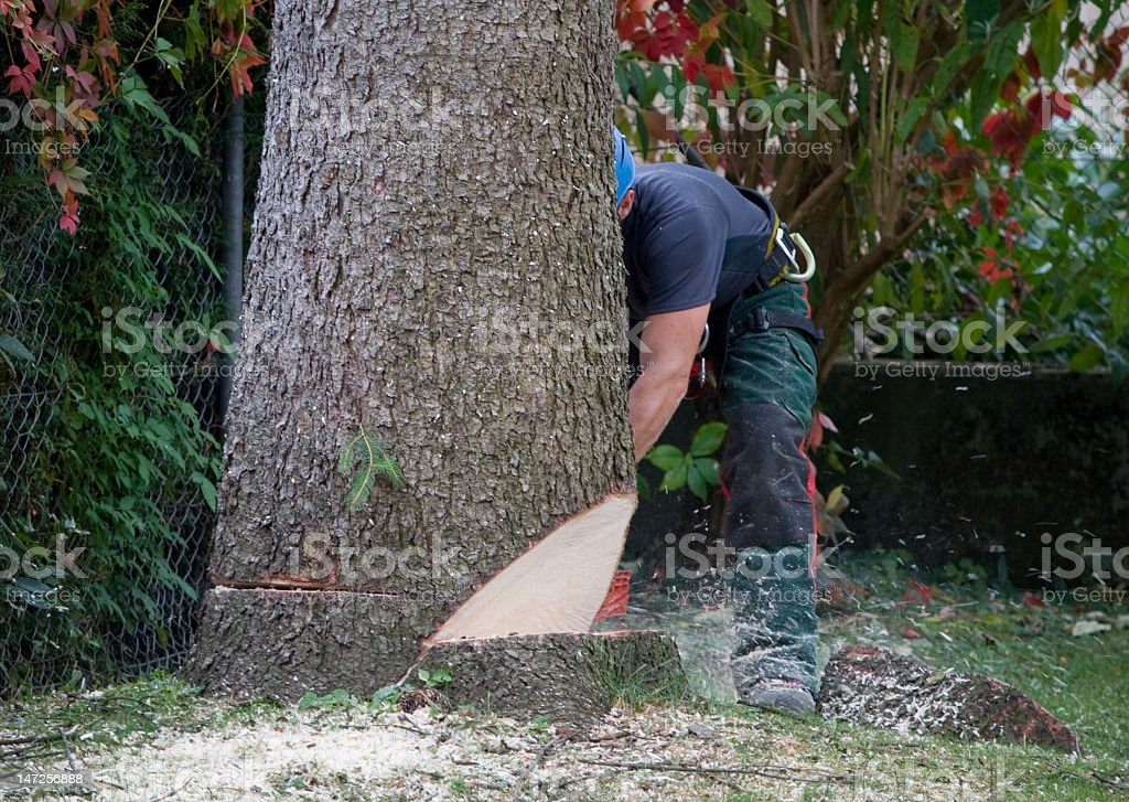 Forestry worker cutting down a large tree stock photo