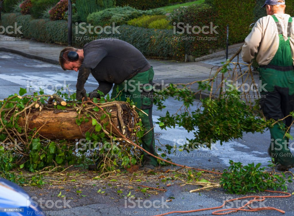Forestry worker sawing a tree trunk with a chainsaw stock photo
