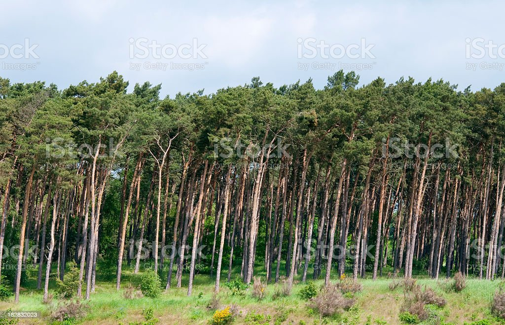 Forest's edge pine grove sky grass bushes wind-blown trees stock photo