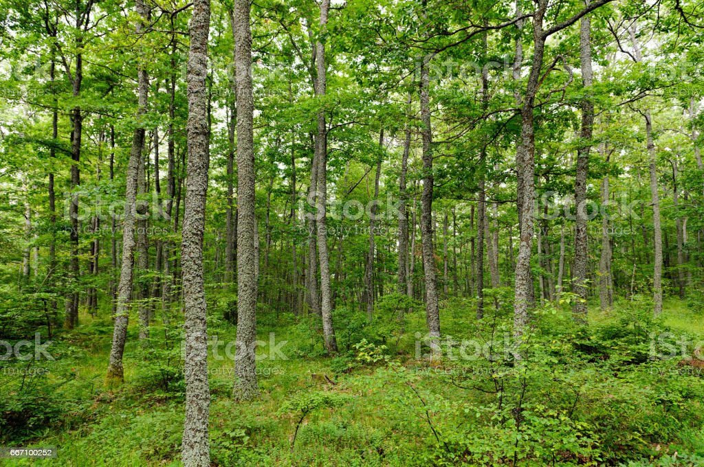 Forests of Turkey oak and European hornbeam stock photo
