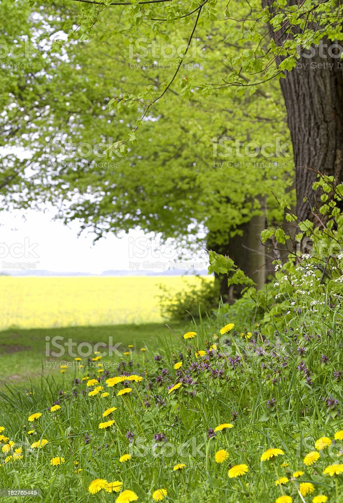 Forestscene in spring with yellow buttercups stock photo