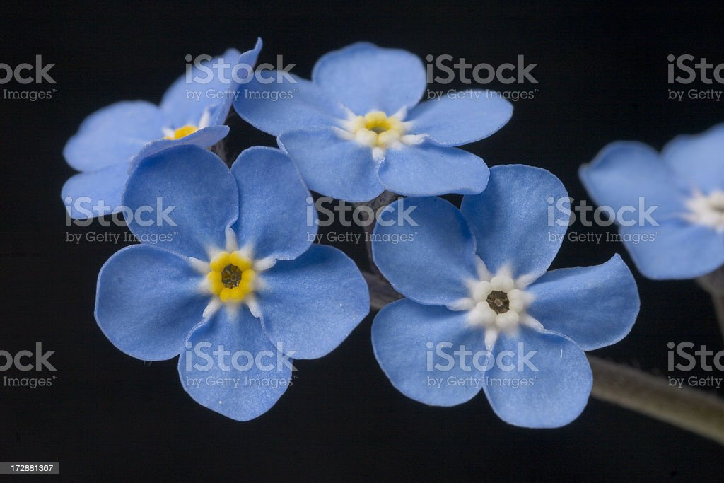 forget me not blossoms royalty-free stock photo