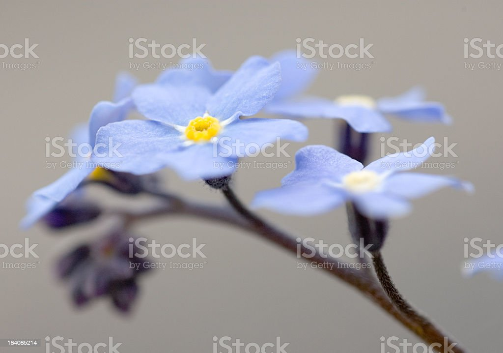Forget Me Not Flower Macro royalty-free stock photo
