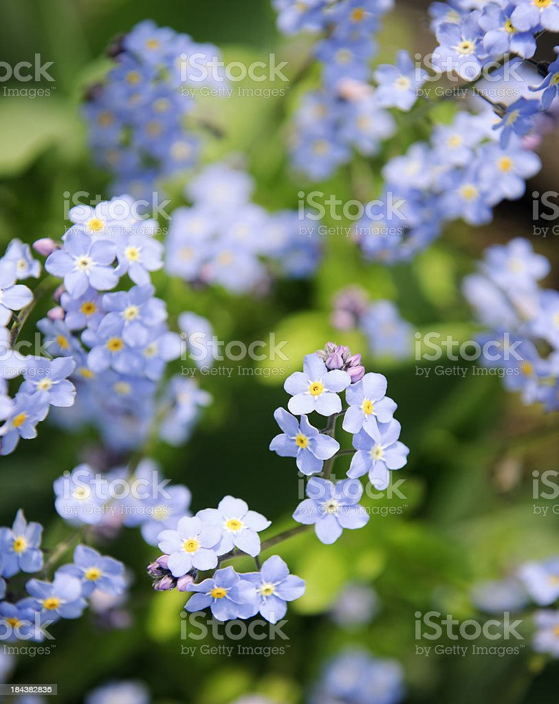 Forget Me Not Flowers in Spring stock photo