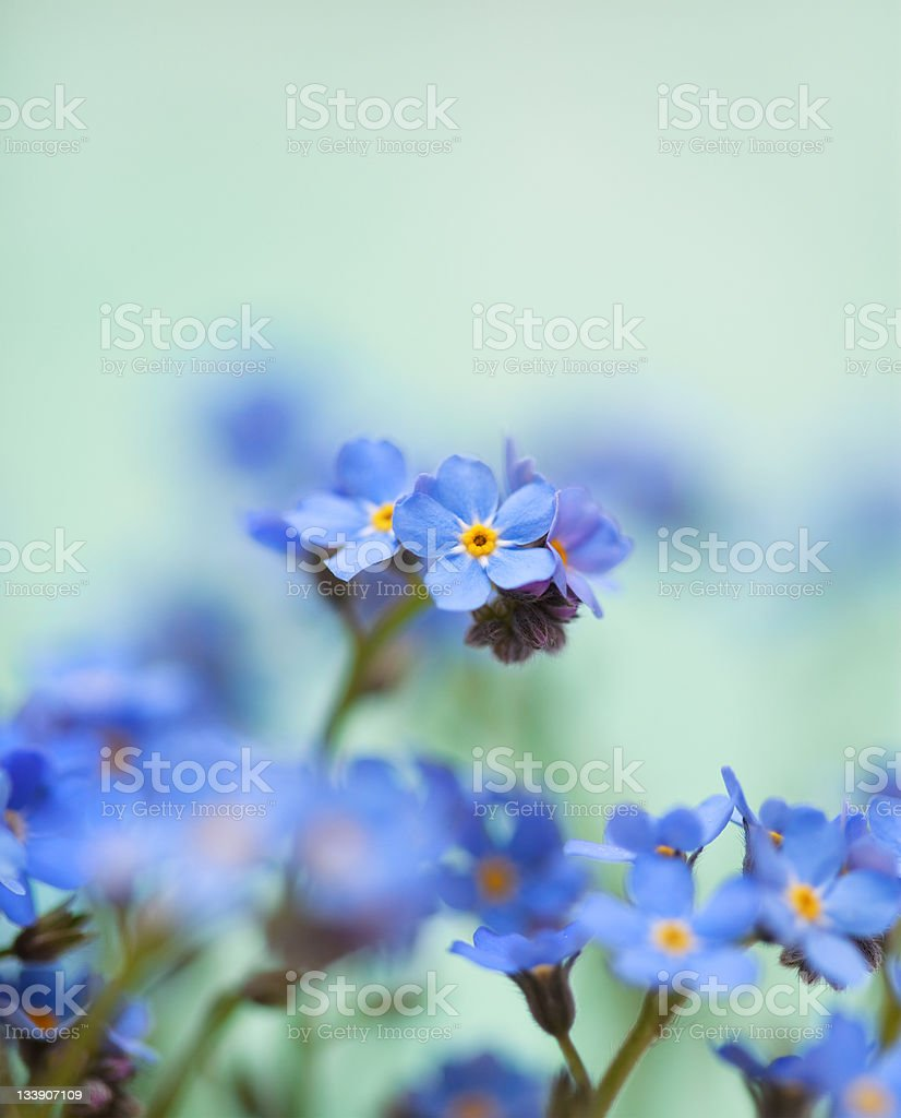 Forget Me Not Flowers royalty-free stock photo