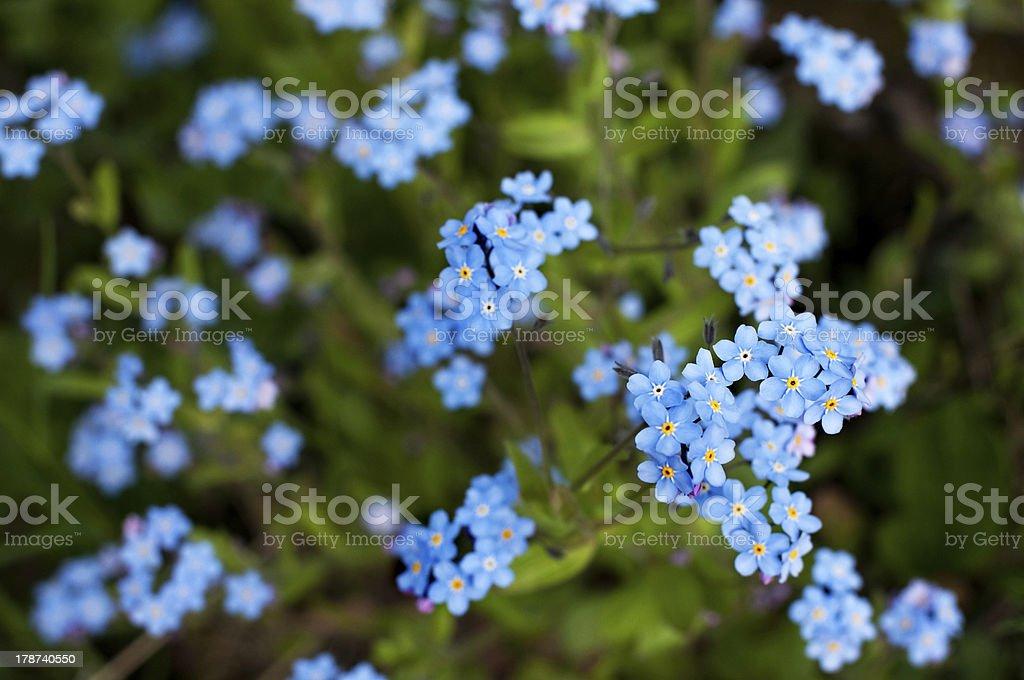 Oubliez-pas de fleurs photo libre de droits