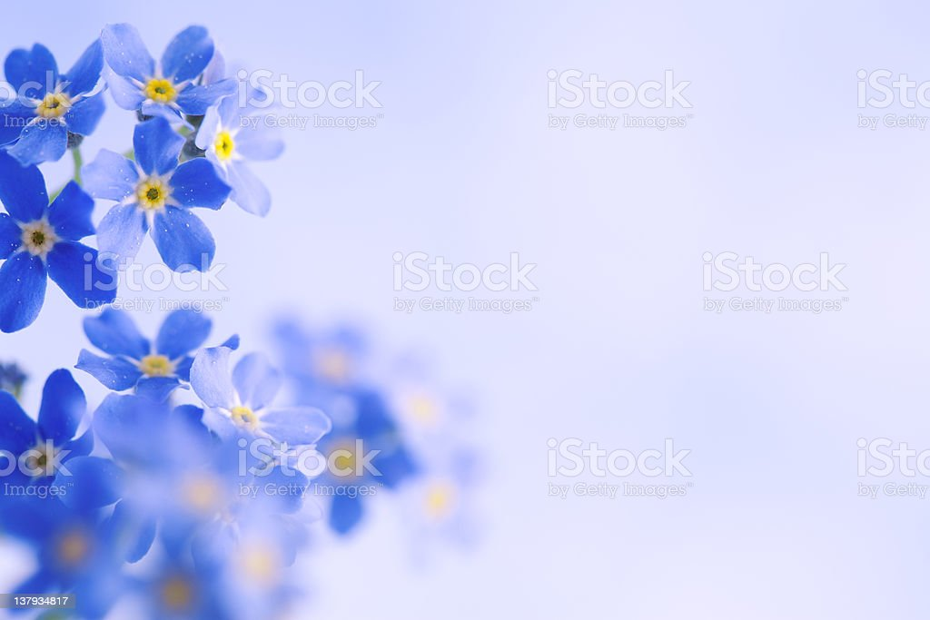 Forget Me Not Horizontal royalty-free stock photo