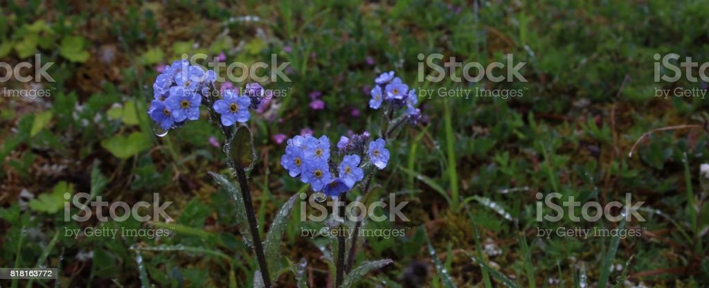 Forget Me Not in the Rain stock photo