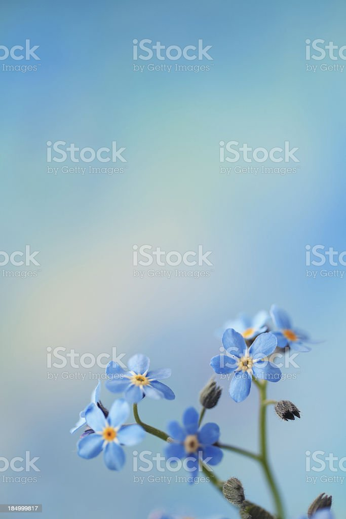 Forget Me Not royalty-free stock photo