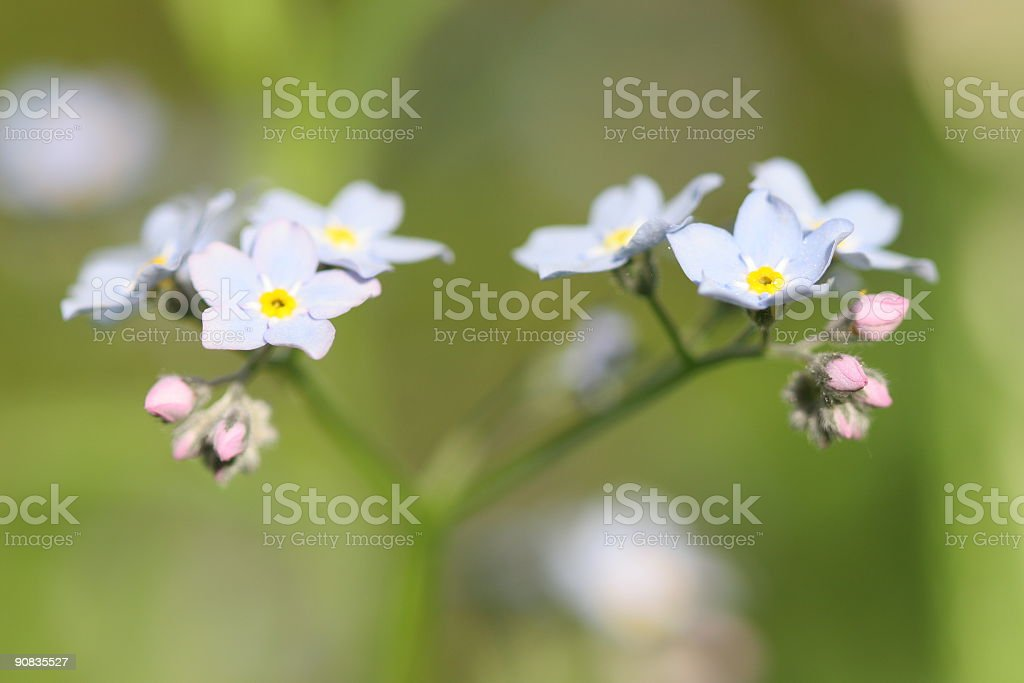 Forget me nots royalty-free stock photo