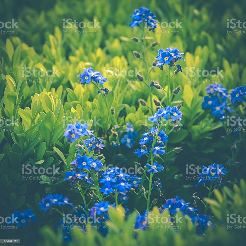forget-me-blue stock photo
