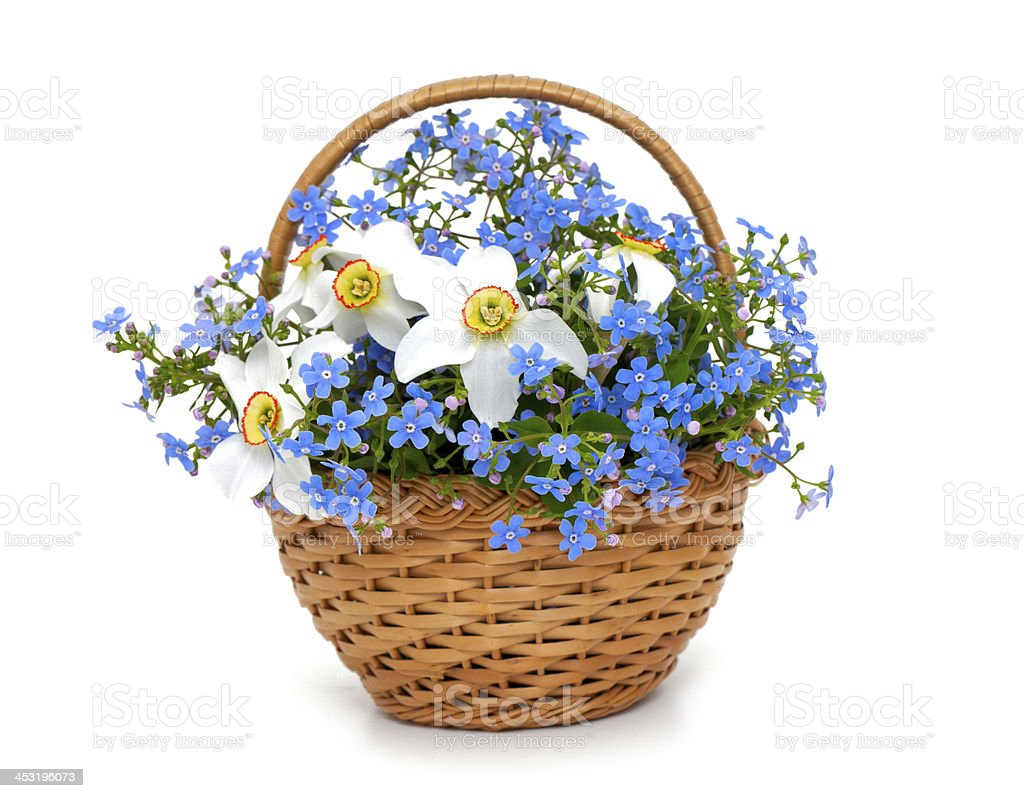 forget-me-not and narcissus flowers in a basket over white royalty-free stock photo