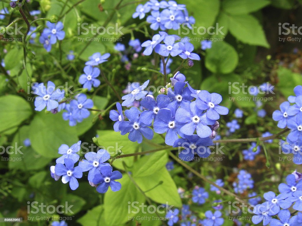 Forget-me-not flower. stock photo