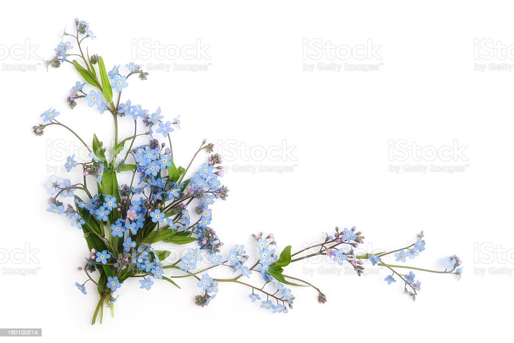 Forget-me-not flowers against white background royalty-free stock photo