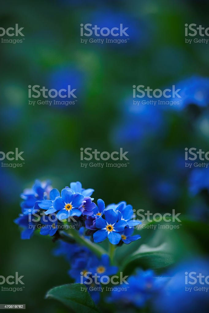 forget-me-not flowers in garden close-up stock photo