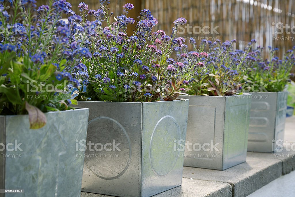 Forget-me-not in tin-cans stock photo