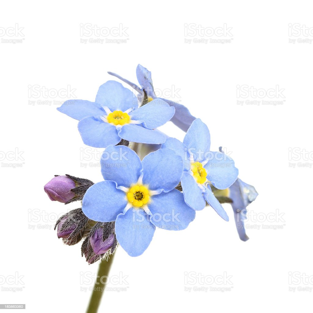 forget-me-not (myosotis) isolated on white royalty-free stock photo