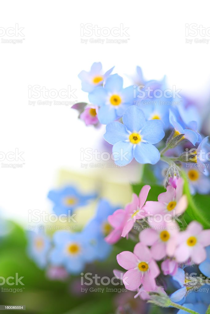 forget-me-not on white background.Floral border. stock photo