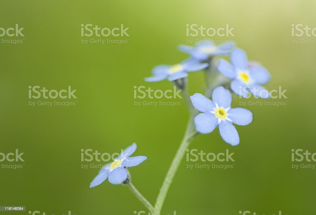 Forget-me-not royalty-free stock photo