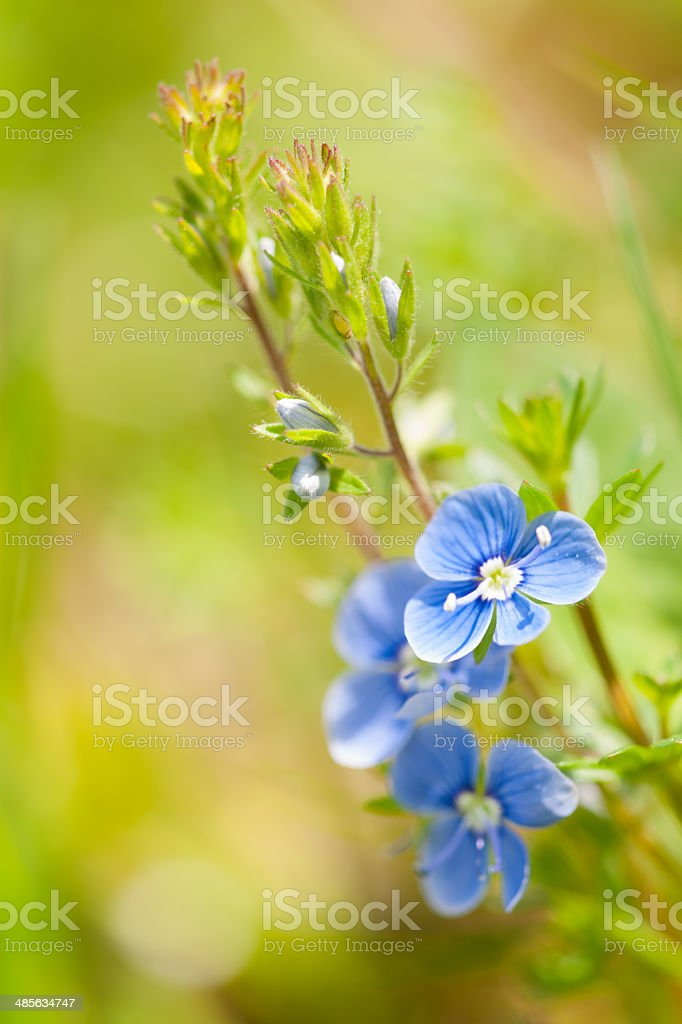 Forget-me-not stock photo