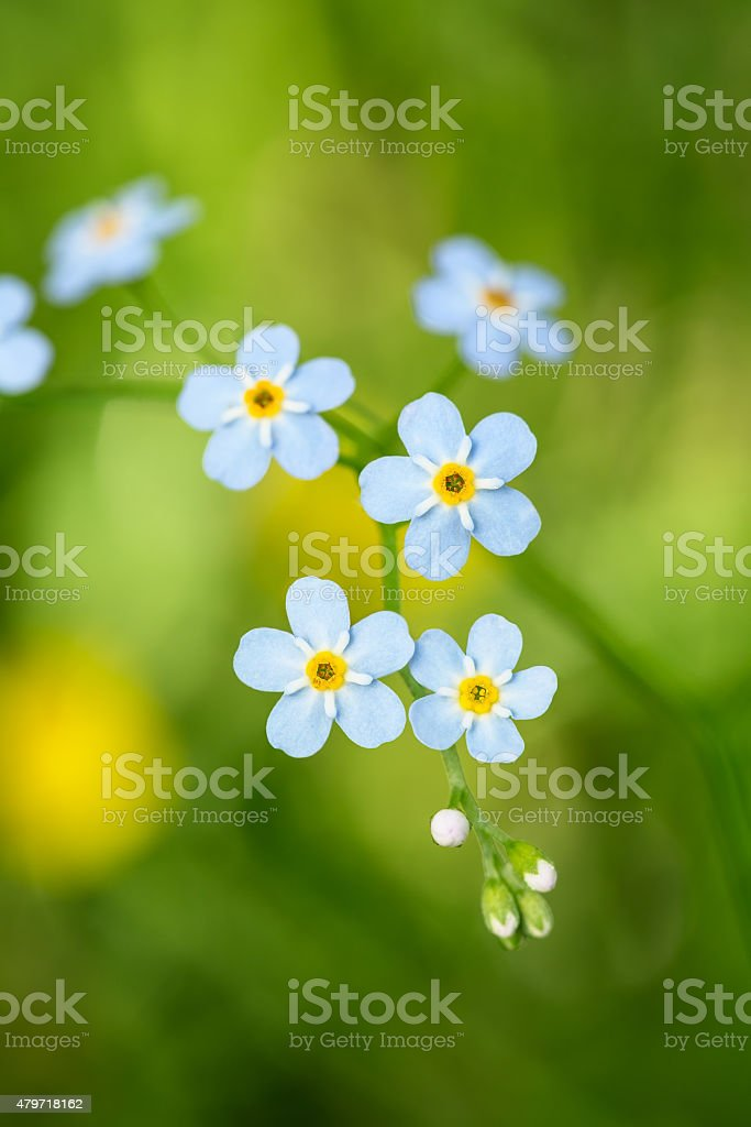 Forget-me-not,delail flower royalty-free stock photo