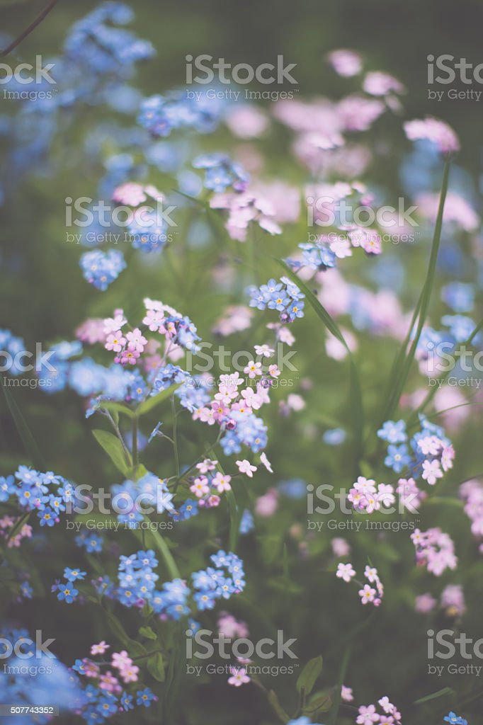 Forget-me-nots stock photo