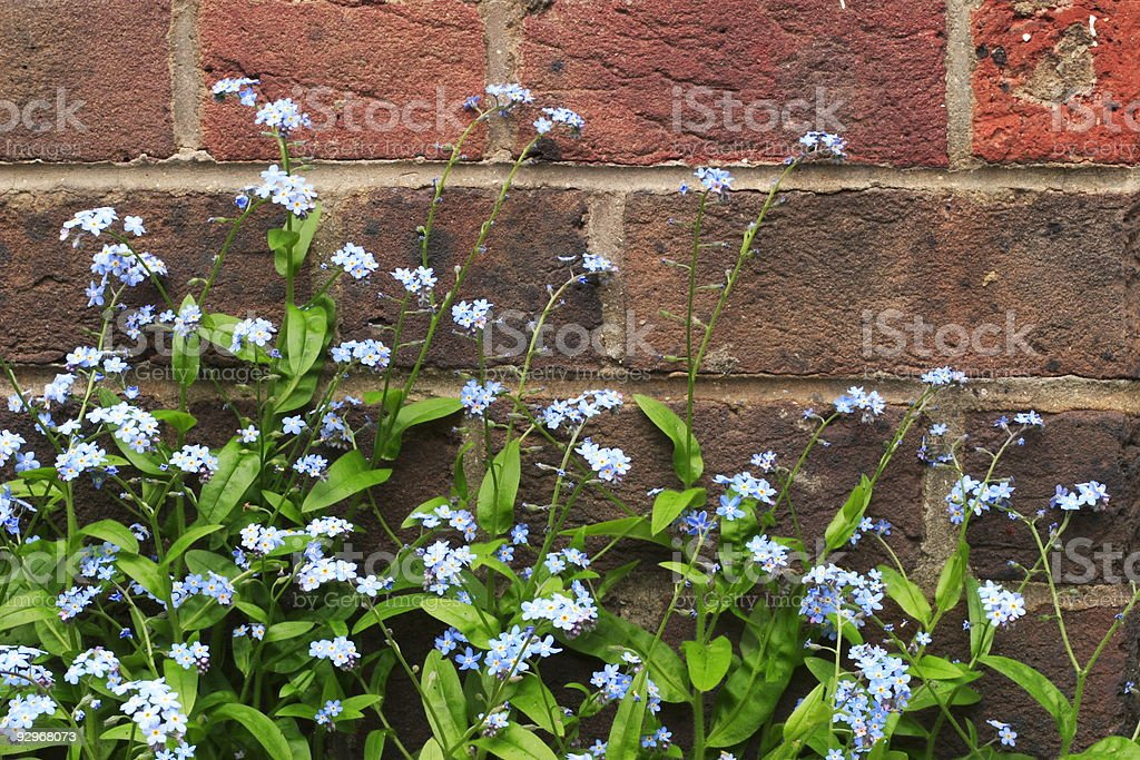 Forget-me-nots royalty-free stock photo
