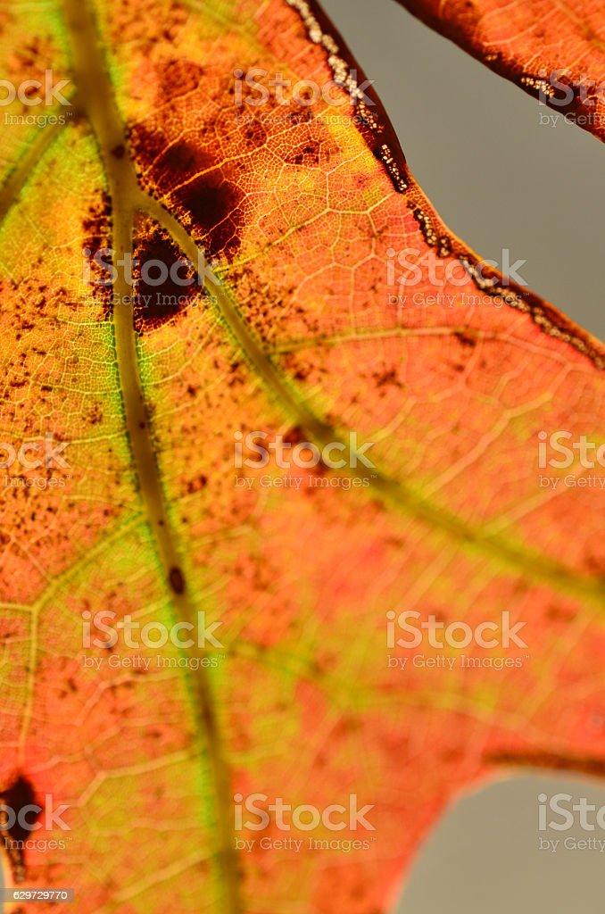 Forking leaf vein on oak leaf in fall colors stock photo