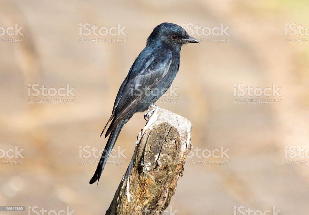 Forktailed Drongo in Royal Natal National Park, South Africa royalty-free stock photo
