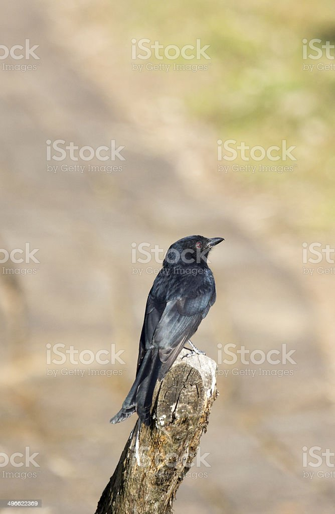Fork-tailed Drongo in Royal Natal National Park, South Africa royalty-free stock photo