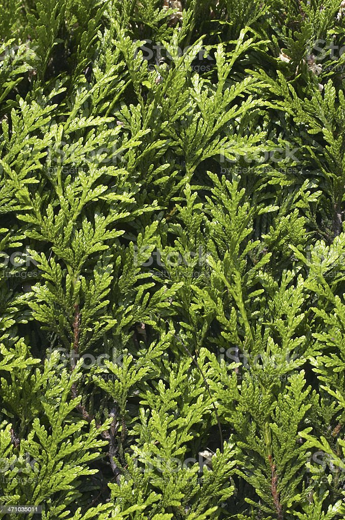Evergreen cypress leaves textured green background or pattern royalty-free stock photo
