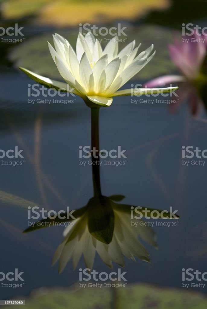Formal Garden, Water Lily On A Stem royalty-free stock photo