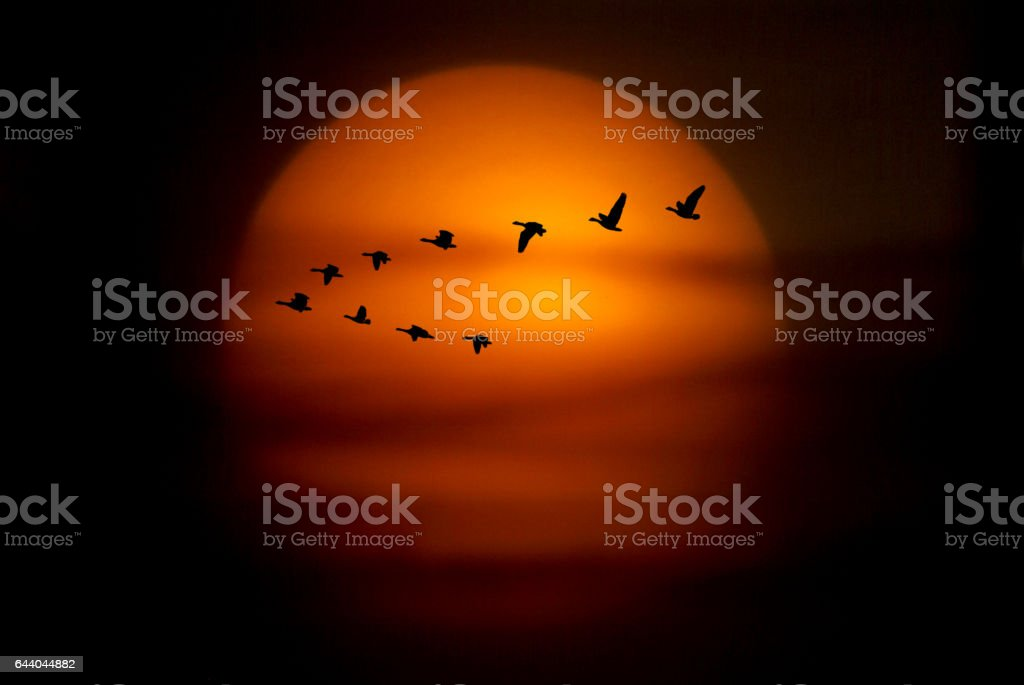 Formation of silhouetted geese against sunset stock photo