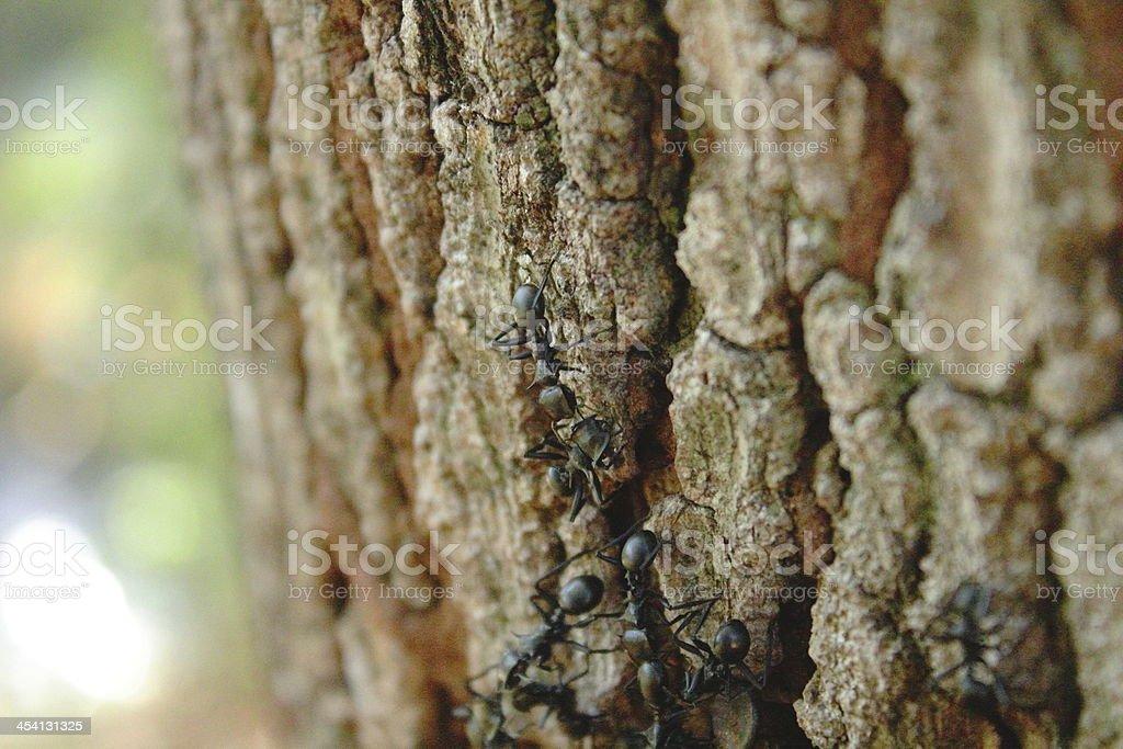 Formigas, grandes no tronco de arvore stock photo