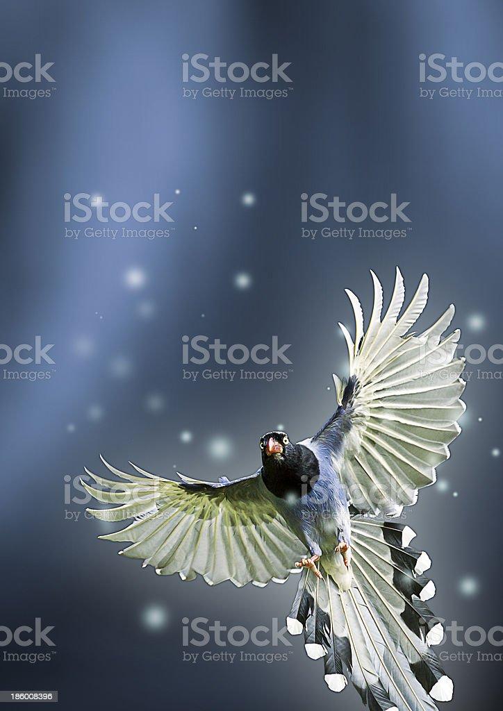formosa blue magpie royalty-free stock photo