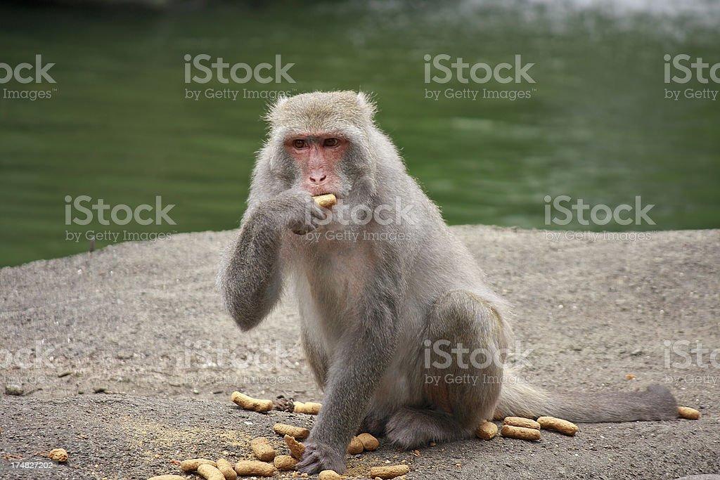 Formosan Macaque royalty-free stock photo