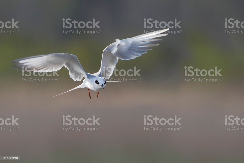 Forster's tern (Sterna forsteri), Cape May, New Jersey, USA stock photo