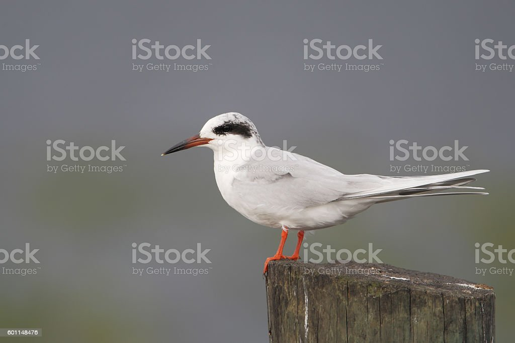 Forster's tern (Sterna forsteri) on post, Kissimmee, Florida, USA stock photo