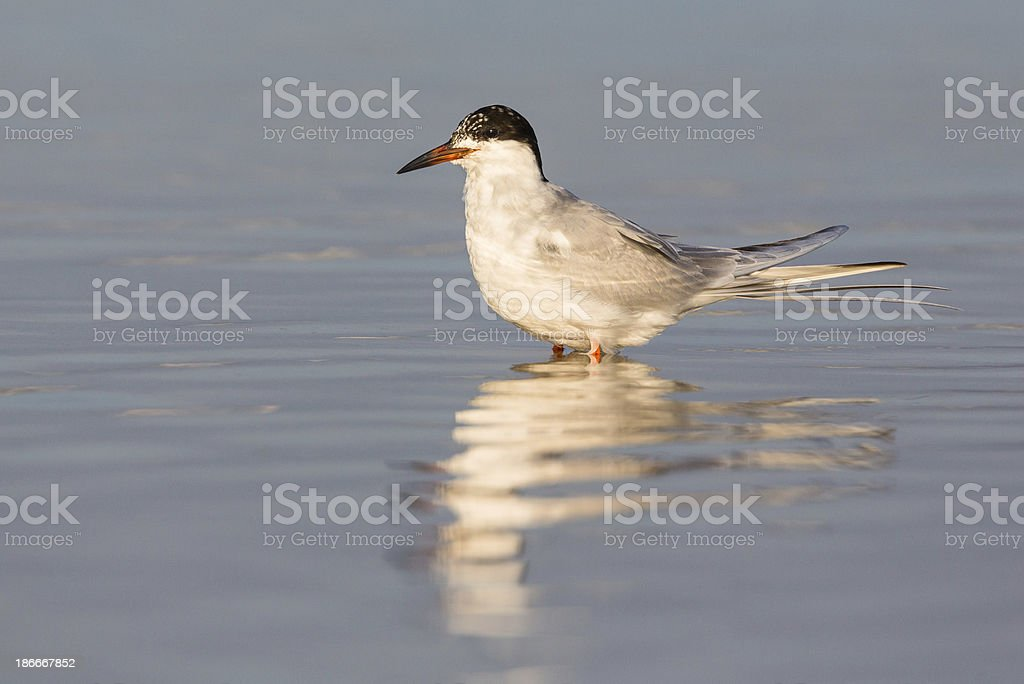 Forster's Tern royalty-free stock photo