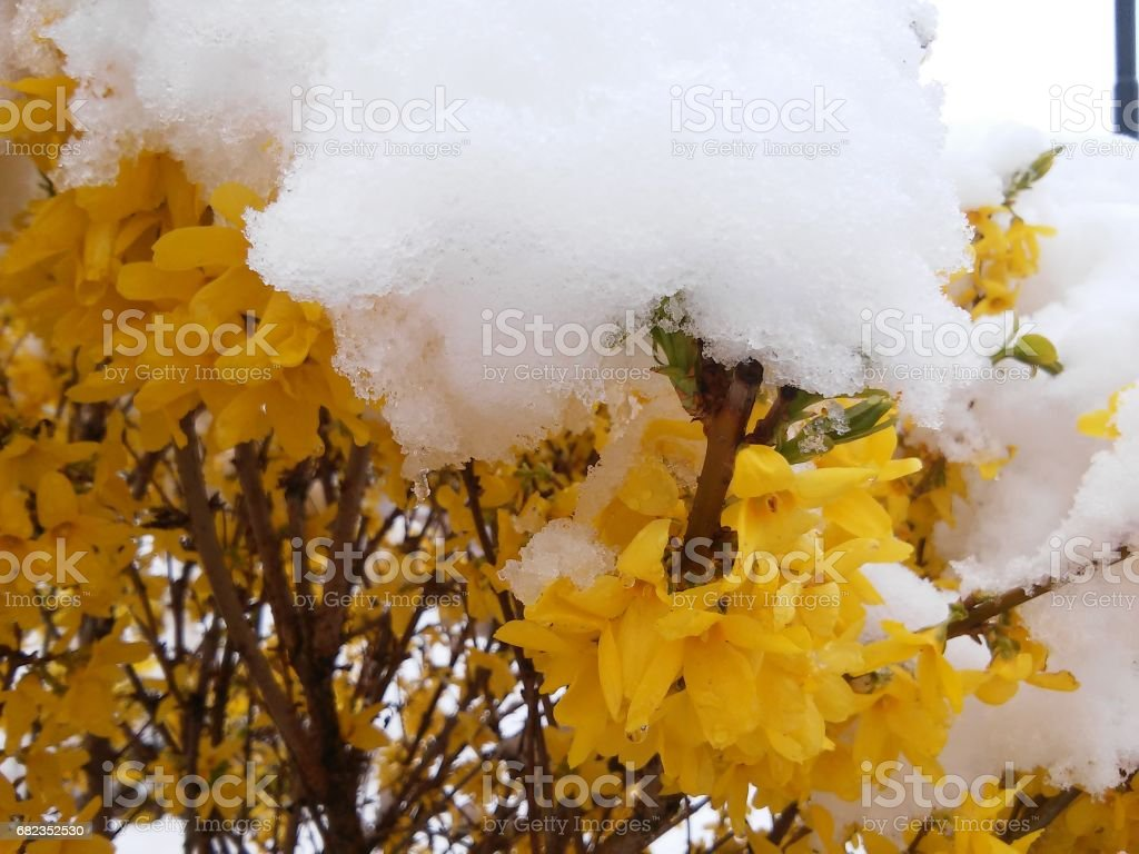 Forsythia and winter and spring in one time in may in spring stock photo
