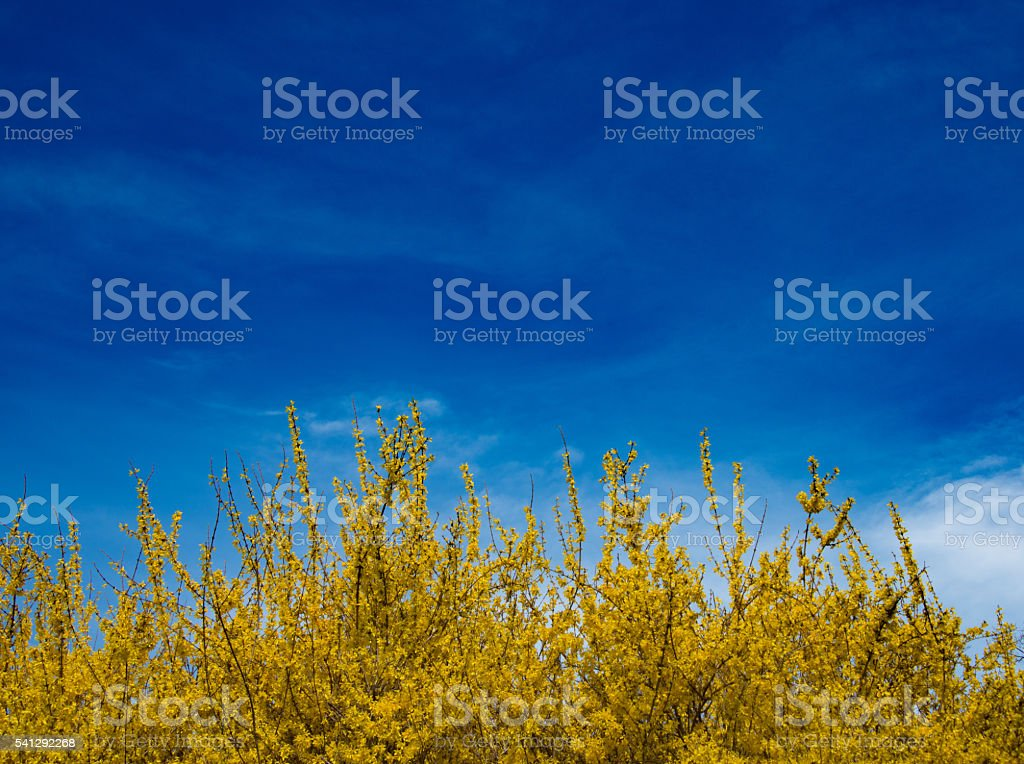Forsythia Background stock photo