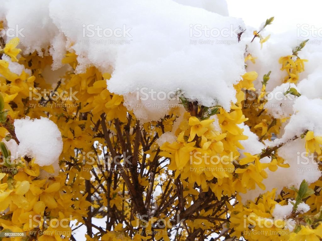Forsythia covered with snow in may stock photo