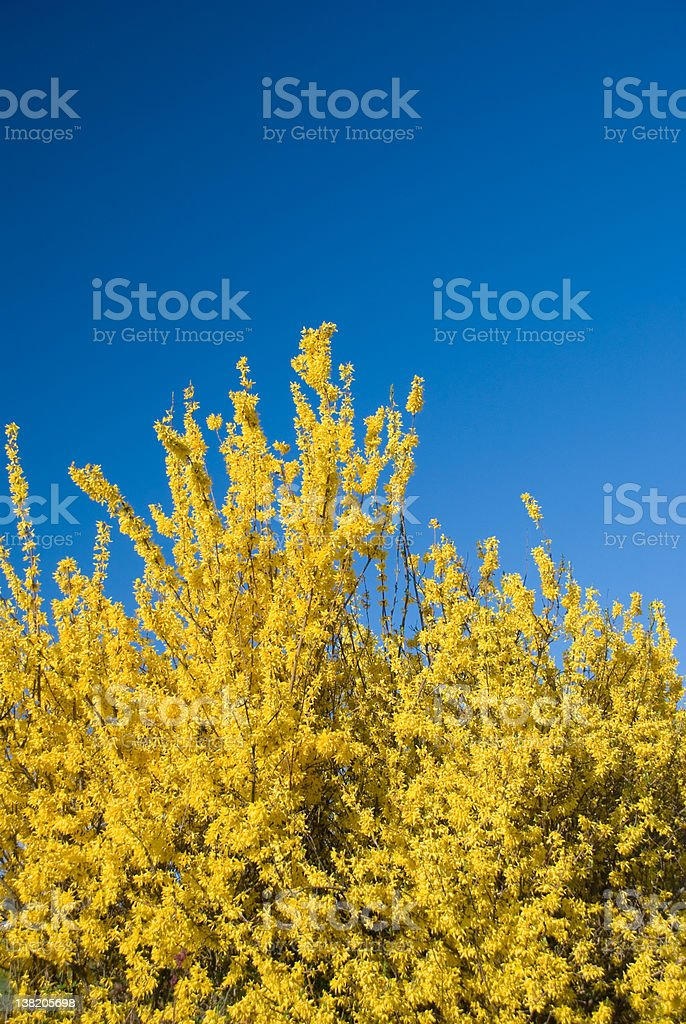Forsythia flowers and blue sky in spring royalty-free stock photo