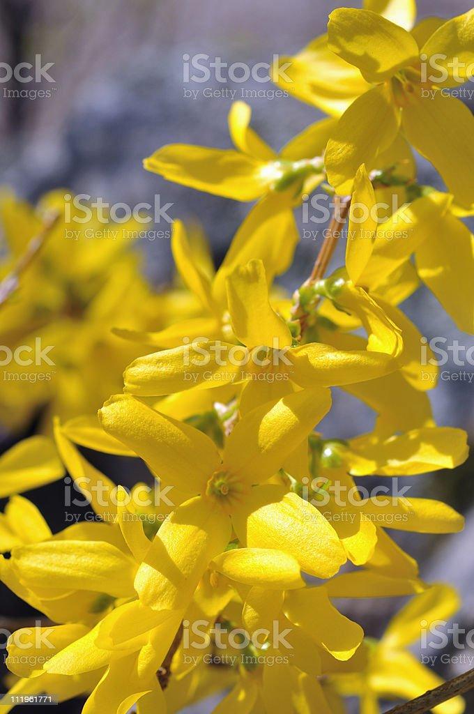 Forsythia Flowers Closeup stock photo