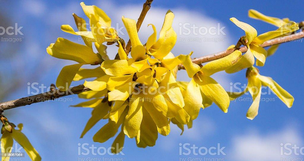 Forsythia flowers stock photo