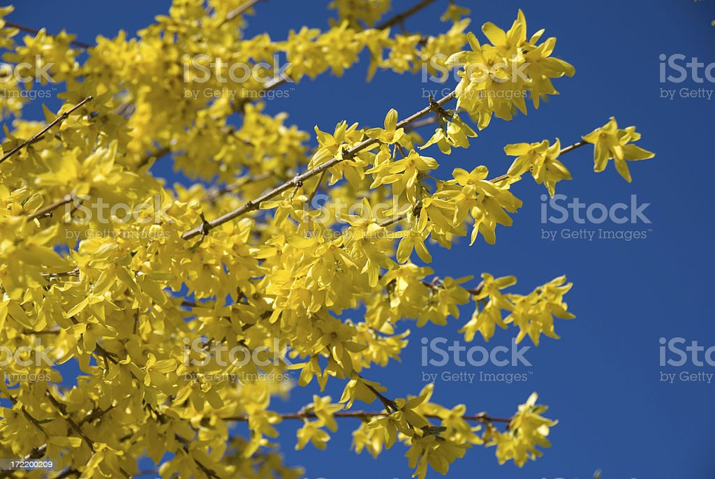 Forsythia in Bloom stock photo