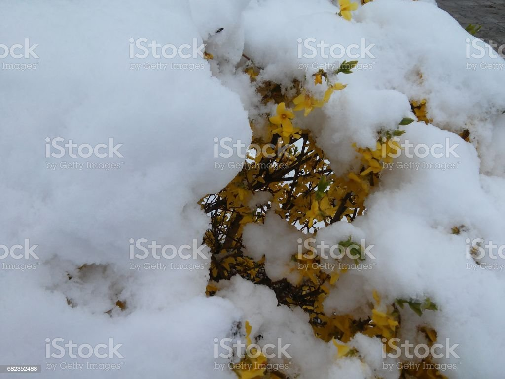 Forsythia in the middle of snow stock photo